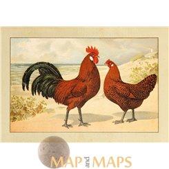 Groninger Meeuw Goudpel, Vintage chicken Print 1920.